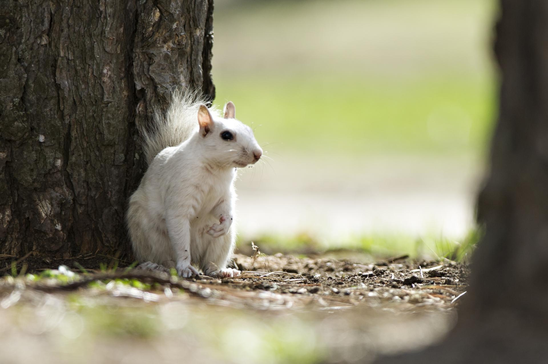 """A"" for our beloved Albino Squirrel"