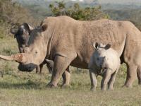 An adult Rhino and calf